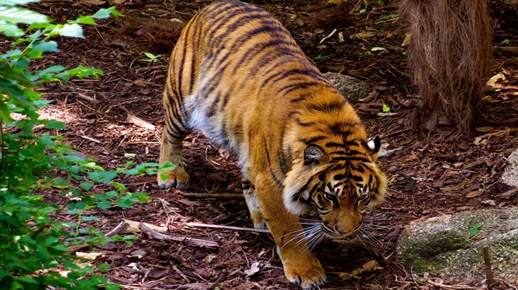 澳大利亚动物园一日游——观看孟加拉虎