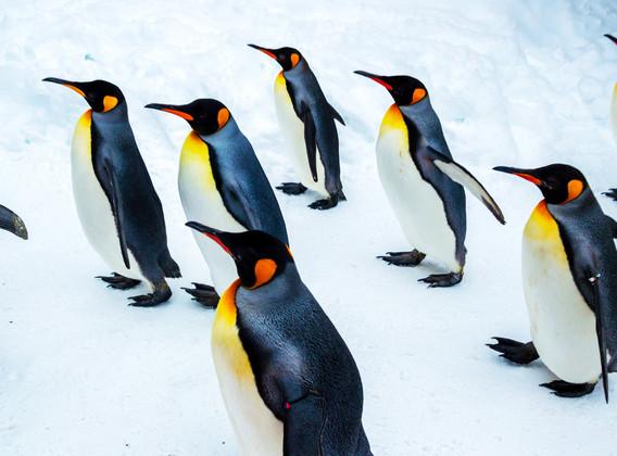 【企鹅散步】日本北海道5晚6天半自助【赠送日本最高人气动物园-旭川动物园日游行程】