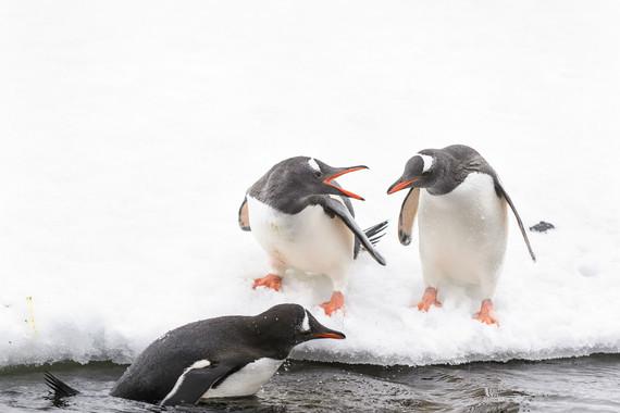 極地-【探索南極,華人包船】阿根廷+烏拉圭+南極 宏迪斯號17日游【企鵝、南極半島、專業探險隊、南極科考站】