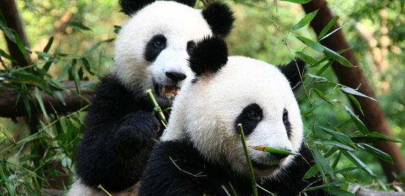 秦岭国家自然保护区 探访野生大熊猫栖息地